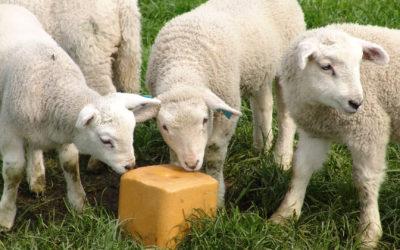 Le sel, un complément alimentaire indispensable pour les animaux