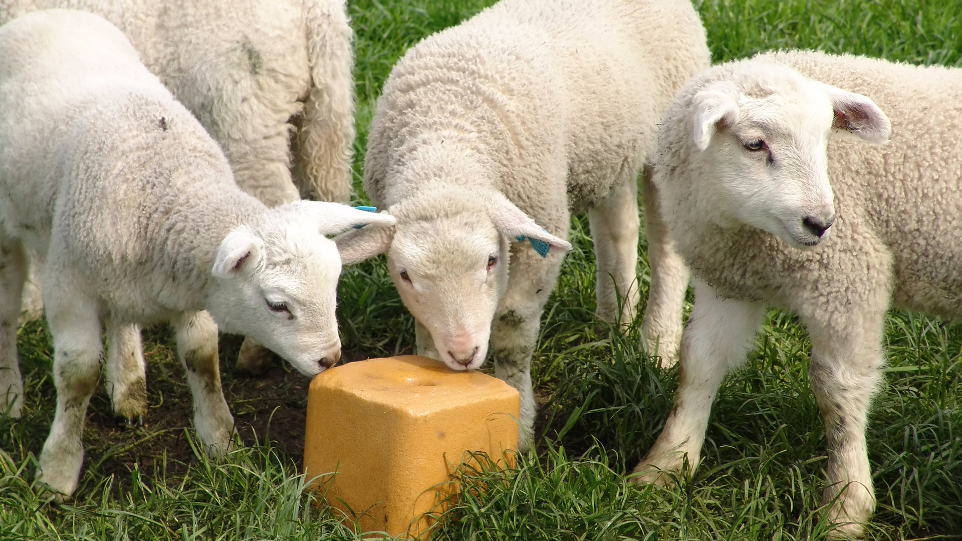 Sel, complément alimentaire pour animaux